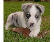 German Coolie Puppies for sale in Atlanta, GA, USA. price: NA