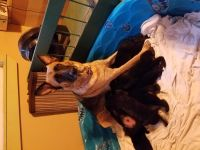 German Coolie Puppies for sale in Burbank, CA, USA. price: NA