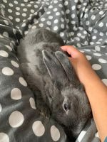 German Grey Rabbits Rabbits for sale in Cincinnati, OH, USA. price: NA