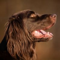 german longhaired pointer dog