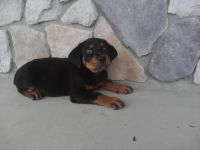 German Pinscher Puppies for sale in Miami, FL, USA. price: NA