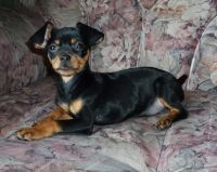 German Pinscher Puppies for sale in Beaver Creek, CO 81620, USA. price: NA