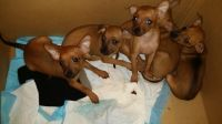 German Pinscher Puppies for sale in Las Vegas, NV, USA. price: NA