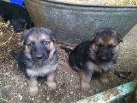 German Pinscher Puppies for sale in Austin, TX, USA. price: NA
