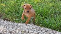 German Pinscher Puppies for sale in Los Angeles, CA, USA. price: NA