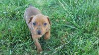 German Pinscher Puppies for sale in Sacramento, CA, USA. price: NA