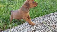 German Pinscher Puppies for sale in Cincinnati, OH, USA. price: NA