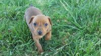 German Pinscher Puppies for sale in Fresno, CA, USA. price: NA