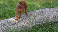 German Pinscher Puppies for sale in Newark, NJ, USA. price: NA