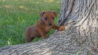 German Pinscher Puppies for sale in Detroit, MI, USA. price: NA