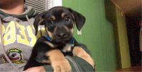 German Pinscher Puppies for sale in Woodburn, OR 97071, USA. price: NA