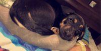 German Pinscher Puppies Photos