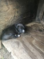 German Pinscher Puppies for sale in Centreville, MS 39631, USA. price: NA