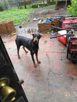 German Pinscher Puppies for sale in Houston, TX 77087, USA. price: NA