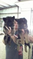 German Shepherd Puppies for sale in 215 Cherry St, Middleborough, MA 02346, USA. price: NA