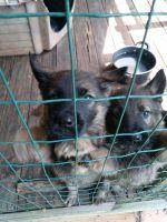 German Shepherd Puppies for sale in Lenoir, NC, USA. price: NA