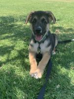 German Shepherd Puppies for sale in Los Angeles, CA 90032, USA. price: NA