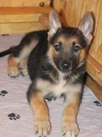 German Shepherd Puppies for sale in Lubbock, TX, USA. price: NA