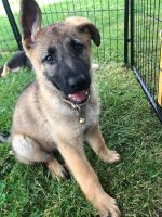 German Shepherd Puppies for sale in Batavia, NY 14020, USA. price: NA