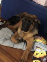 German Shepherd Puppies for sale in Davenport, IA, USA. price: NA