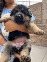 German Shepherd Puppies for sale in Rancho Cucamonga, CA, USA. price: NA