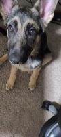 German Shepherd Puppies for sale in Minot, ND, USA. price: NA