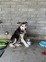 German Shepherd Puppies for sale in San Antonio, TX, USA. price: NA