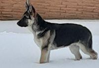 German Shepherd Puppies for sale in Omaha, NE, USA. price: NA