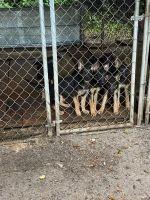 German Shepherd Puppies for sale in Live Oak, FL, USA. price: NA