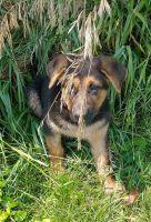 German Shepherd Puppies for sale in Staunton, VA 24401, USA. price: NA