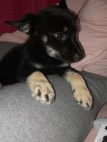 German Shepherd Puppies for sale in Baltimore, MD 21215, USA. price: NA