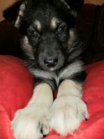 German Shepherd Puppies for sale in Boise, ID, USA. price: NA