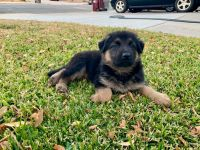 German Shepherd Puppies for sale in Moreno Valley, CA, USA. price: NA