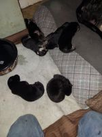 German Shepherd Puppies for sale in Greenwich, NY 12834, USA. price: NA