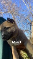 German Shepherd Puppies for sale in Irvington, NJ 07111, USA. price: NA