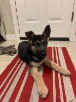 German Shepherd Puppies for sale in Beaverton, OR, USA. price: NA