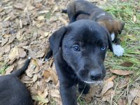 German Shepherd Puppies for sale in 827 S 2nd St, Conroe, TX 77301, USA. price: NA