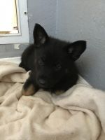 German Shepherd Puppies for sale in Morganton, NC 28655, USA. price: NA