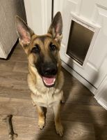 German Shepherd Puppies for sale in San Antonio, TX, USA. price: NA