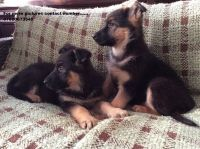 German Shepherd Puppies for sale in Tampa, FL 33606, USA. price: NA