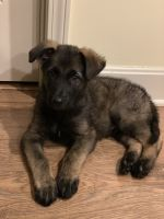 German Shepherd Puppies for sale in Pleasant Hill, MO 64080, USA. price: NA