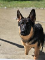 German Shepherd Puppies for sale in Garrison, MD 21117, USA. price: NA