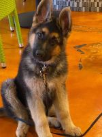 German Shepherd Puppies for sale in San Diego, CA 92128, USA. price: NA