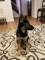 German Shepherd Puppies for sale in Herndon, VA 20170, USA. price: NA