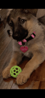German Shepherd Puppies for sale in Mansfield, TX, USA. price: NA