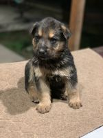 German Shepherd Puppies for sale in Norwalk, CA 90650, USA. price: NA