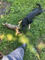 German Shepherd Puppies for sale in Delaware County, PA, USA. price: NA