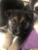 German Shepherd Puppies for sale in Clayton, WA 99110, USA. price: NA