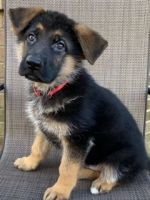 German Shepherd Puppies for sale in Russell Springs, KY 42642, USA. price: NA