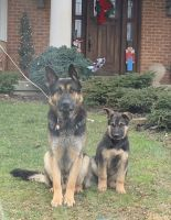German Shepherd Puppies for sale in Wilmington, OH 45177, USA. price: NA